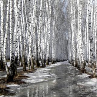 Birch forest in autumn - Obrázkek zdarma pro 320x320
