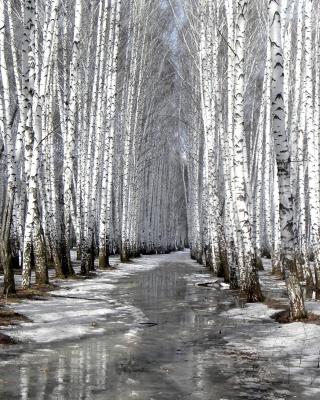 Birch forest in autumn - Obrázkek zdarma pro Nokia Asha 306