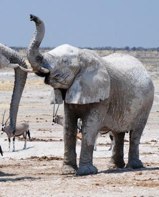 Elephants - Obrázkek zdarma pro Nokia C1-01