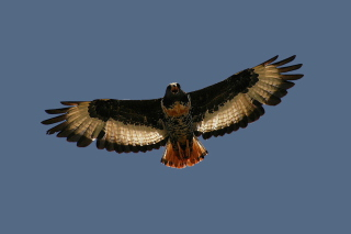 Jackal Buzzard Background for Android, iPhone and iPad