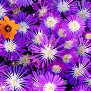 Purple Colour Flowers - Obrázkek zdarma pro iPad 2