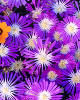 Purple Colour Flowers - Obrázkek zdarma pro 320x480