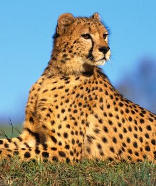Fast Predator Cheetah - Obrázkek zdarma pro Nokia C2-00