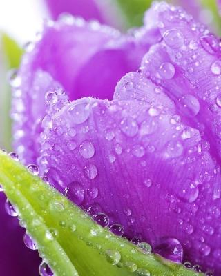 Purple tulips with dew - Obrázkek zdarma pro 640x960