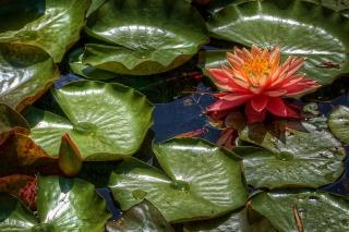 Amazing Water Lilly - Obrázkek zdarma pro Samsung Galaxy S5