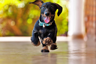 Crazy Dachshund Background for Android, iPhone and iPad