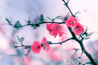 Pink Spring Flowers Wallpaper for Android, iPhone and iPad