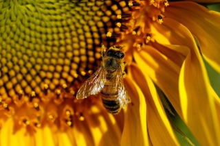 Bee On Sunflower Picture for Android, iPhone and iPad