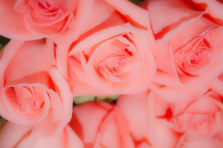 Pink Roses Background for Android, iPhone and iPad