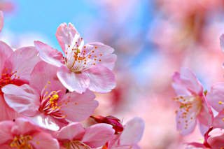 Cherry Blossom Macro Background for Android, iPhone and iPad