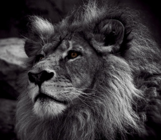 Black And White Lion - Obrázkek zdarma pro iPad