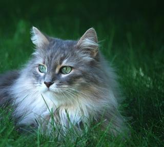 Fluffy Cat - Obrázkek zdarma pro iPad Air