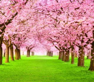 Sakura Park - Obrázkek zdarma pro 128x128