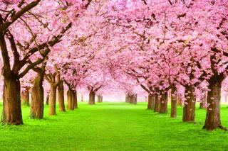 Sakura Park - Obrázkek zdarma pro 1440x900