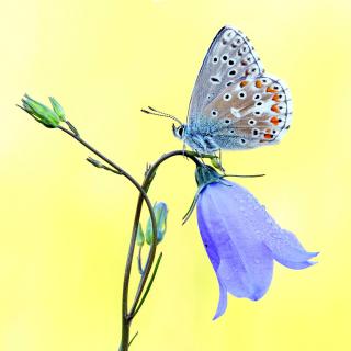 Butterfly on Bell Flower - Obrázkek zdarma pro 208x208