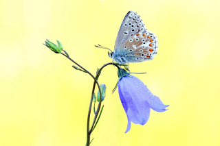 Butterfly on Bell Flower Wallpaper for Android, iPhone and iPad