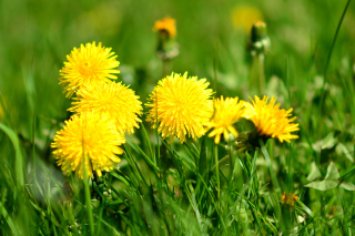 Free Dandelions HDR Picture for Android, iPhone and iPad