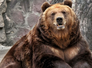 Free Grizzly bear Picture for Android, iPhone and iPad