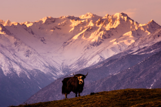 Yak In Tibet Background for Android, iPhone and iPad