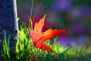 Red Leaf Green Grass Macro Wallpaper for Android, iPhone and iPad