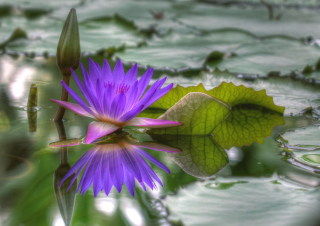 Purple Hd Lotus Picture for Android, iPhone and iPad