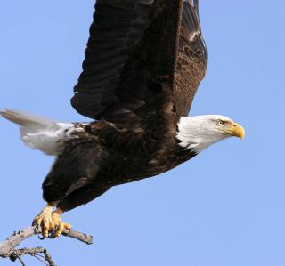 Eagle With Branch - Obrázkek zdarma pro iPad 2