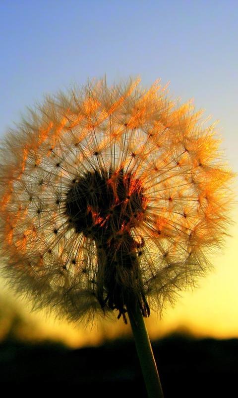 dandelion sunset related keywords - photo #44