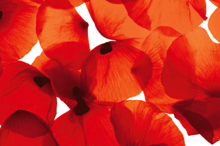 Poppy Petals Wallpaper for Android, iPhone and iPad
