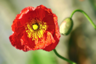 Red Poppy Close Up Picture for Android, iPhone and iPad