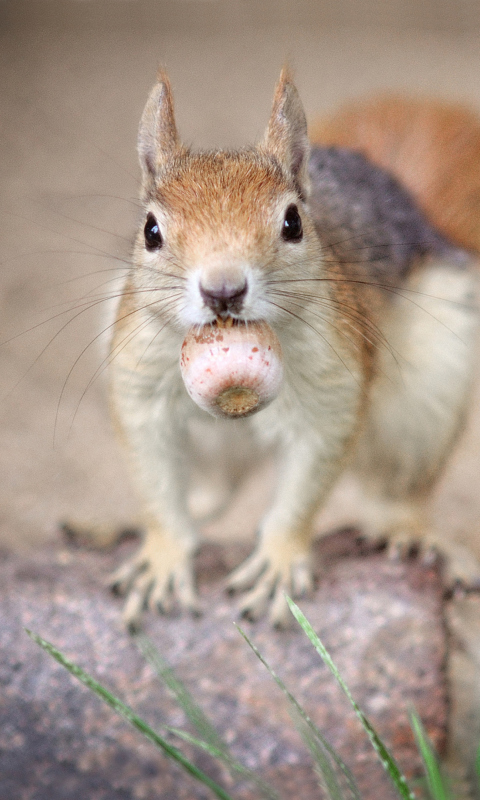 Funny squirrel with nut wallpaper for 480x800 - Funny squirrel backgrounds ...