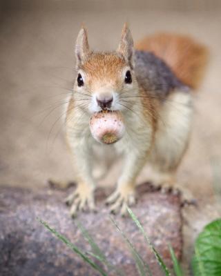 Funny Squirrel With Nut - Obrázkek zdarma pro Nokia Asha 501