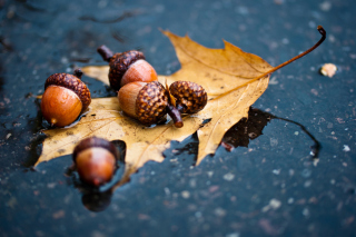 Autumn Leaf And Acorn Wallpaper for Android, iPhone and iPad