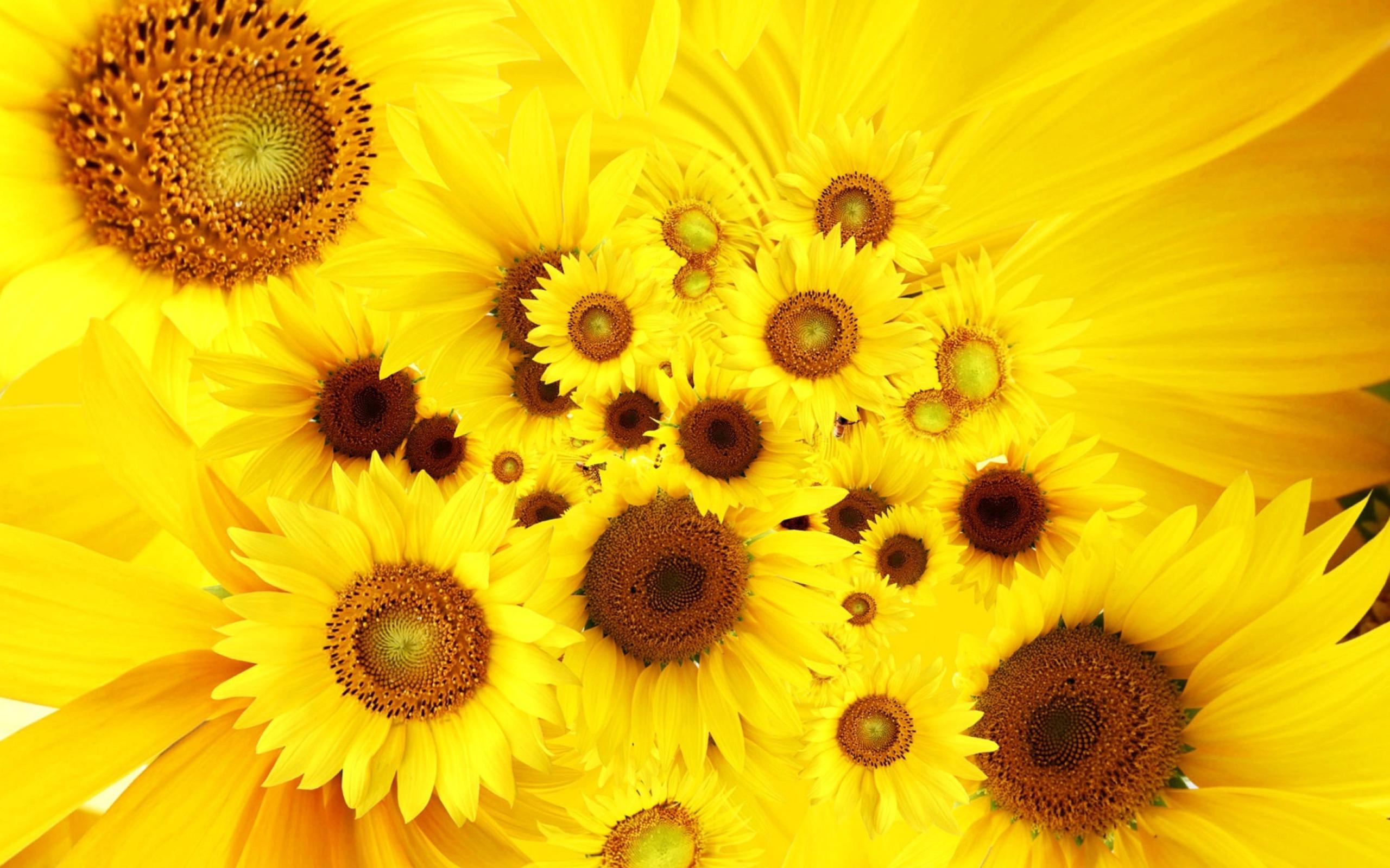 природа подсолнечник цветы nature sunflower flowers  № 2672142 без смс