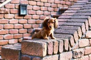 Free Spaniel Puppy Picture for Android, iPhone and iPad