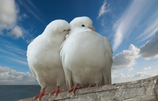 Two White Pigeons Picture for Android, iPhone and iPad