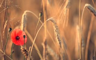Red Poppy And Wheat Background for Android, iPhone and iPad