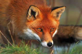 Orange Fox Picture for Android, iPhone and iPad