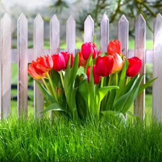 Tulips in Garden - Obrázkek zdarma pro 128x128
