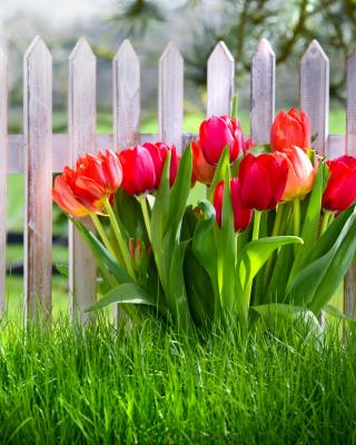 Tulips in Garden - Obrázkek zdarma pro Nokia C5-03