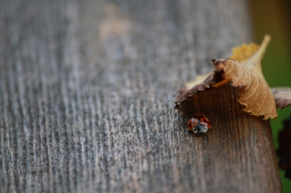 Lady Bug Hiding In Leaf Picture for Android, iPhone and iPad