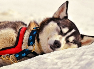 Sleeping Eskimo Dog Wallpaper for Android, iPhone and iPad