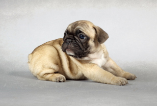 Cute Pug Wallpaper for Android, iPhone and iPad