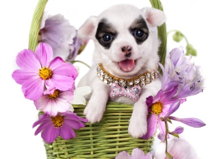Chihuahua In Flowers Wallpaper for Android, iPhone and iPad
