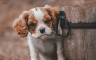 Spaniel Puppy Wallpaper for Android, iPhone and iPad