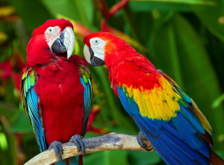 Free Two Macaws Picture for Android, iPhone and iPad