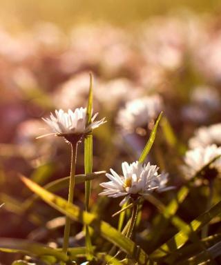 Small Daisies - Obrázkek zdarma pro Nokia Asha 501