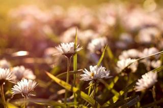 Small Daisies - Obrázkek zdarma pro Samsung Galaxy S6