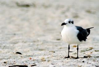 Free Seagull On The Beach Picture for Android, iPhone and iPad