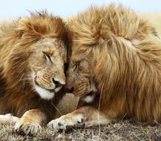 Lions Couple - Obrázkek zdarma pro iPad Air