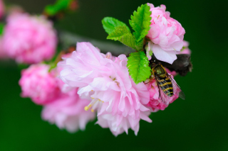 Free Bee On Pink Rose Picture for Android, iPhone and iPad